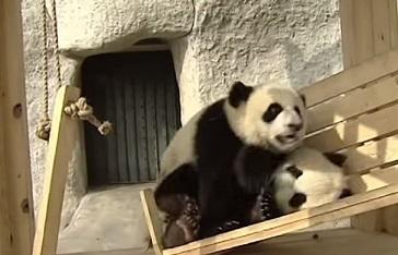 דובי פנדה על נדנדה